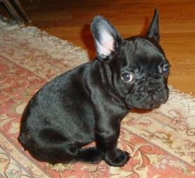 Собаки и щенки породы Французский бульдог  купить из